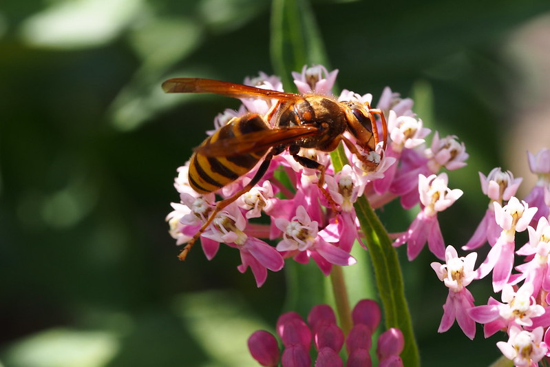Japanese Yellow Hornet (Vespa simillima)