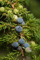 Juniper (Juniperus communis)