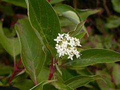 Dogwood (Cornus sericea)