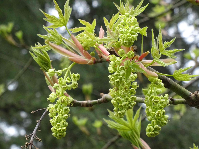 Fleurs de l'érable à grandes feuilles