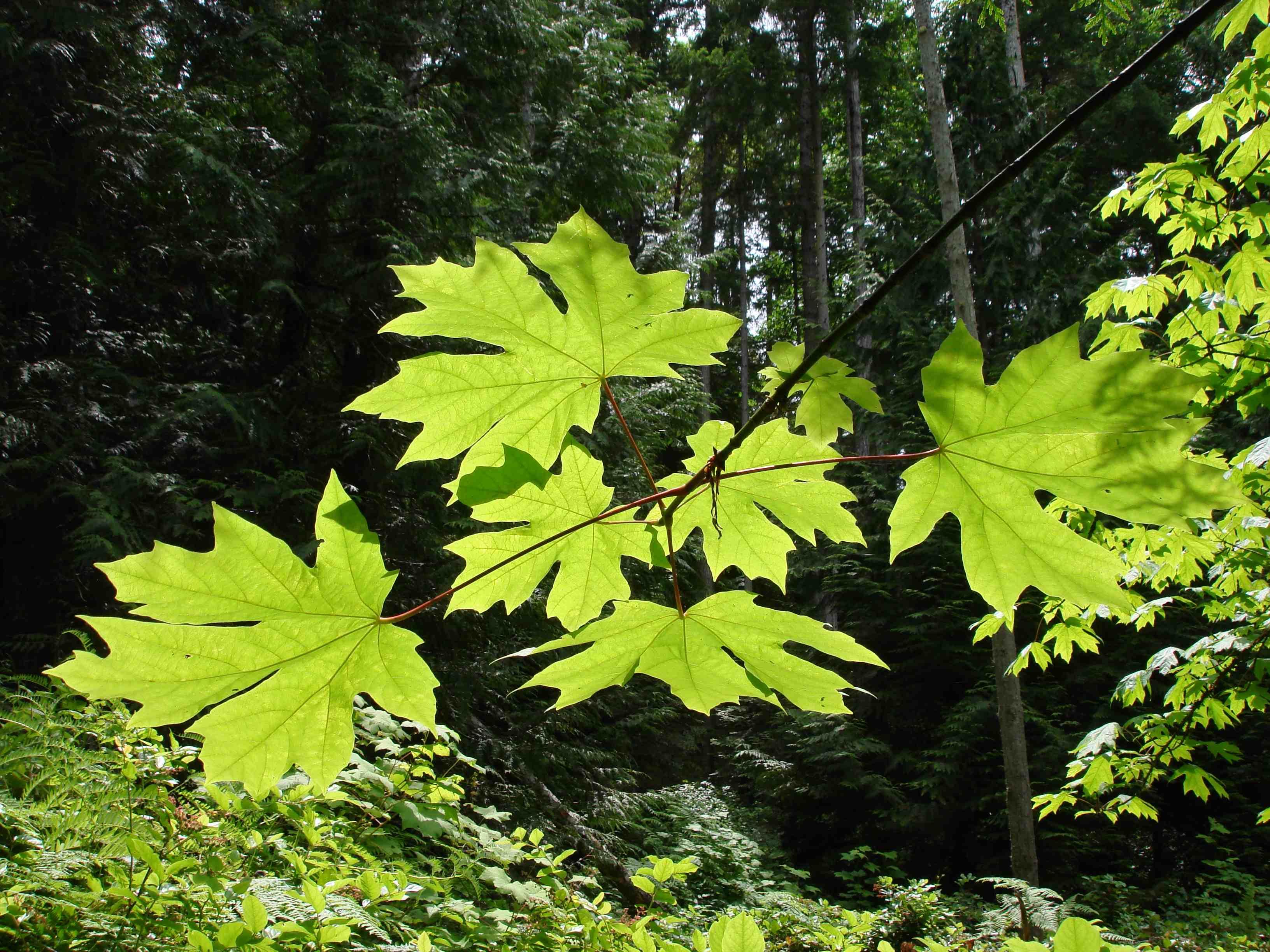 Feuilles de l'érable à grandes feuilles