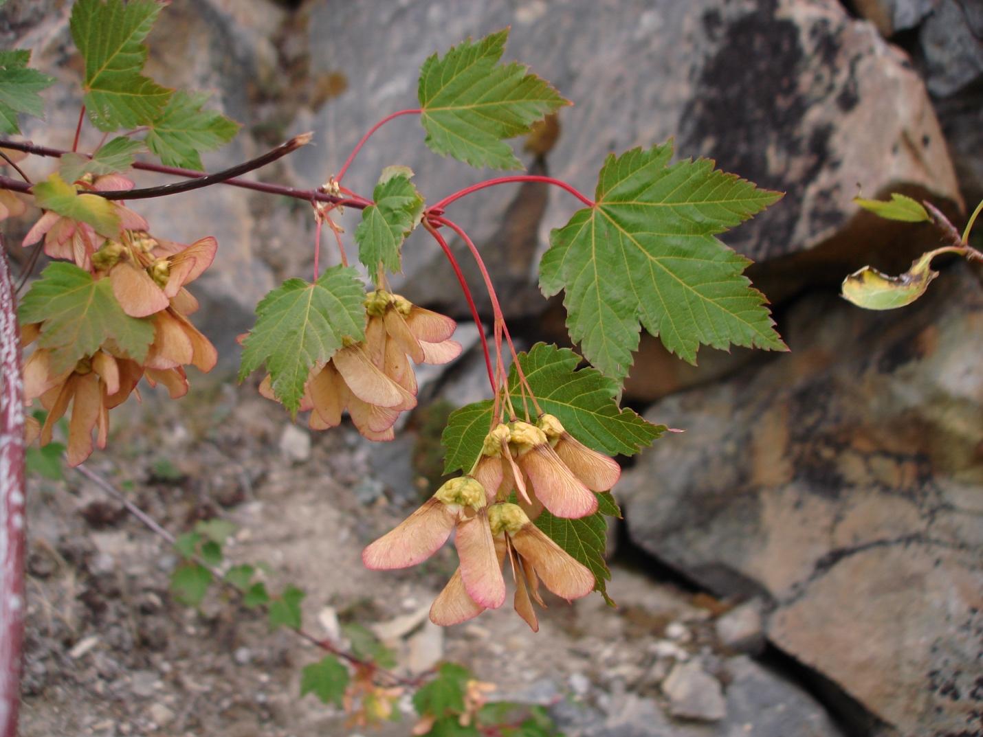 Érable de Douglas (Acer glabrum)