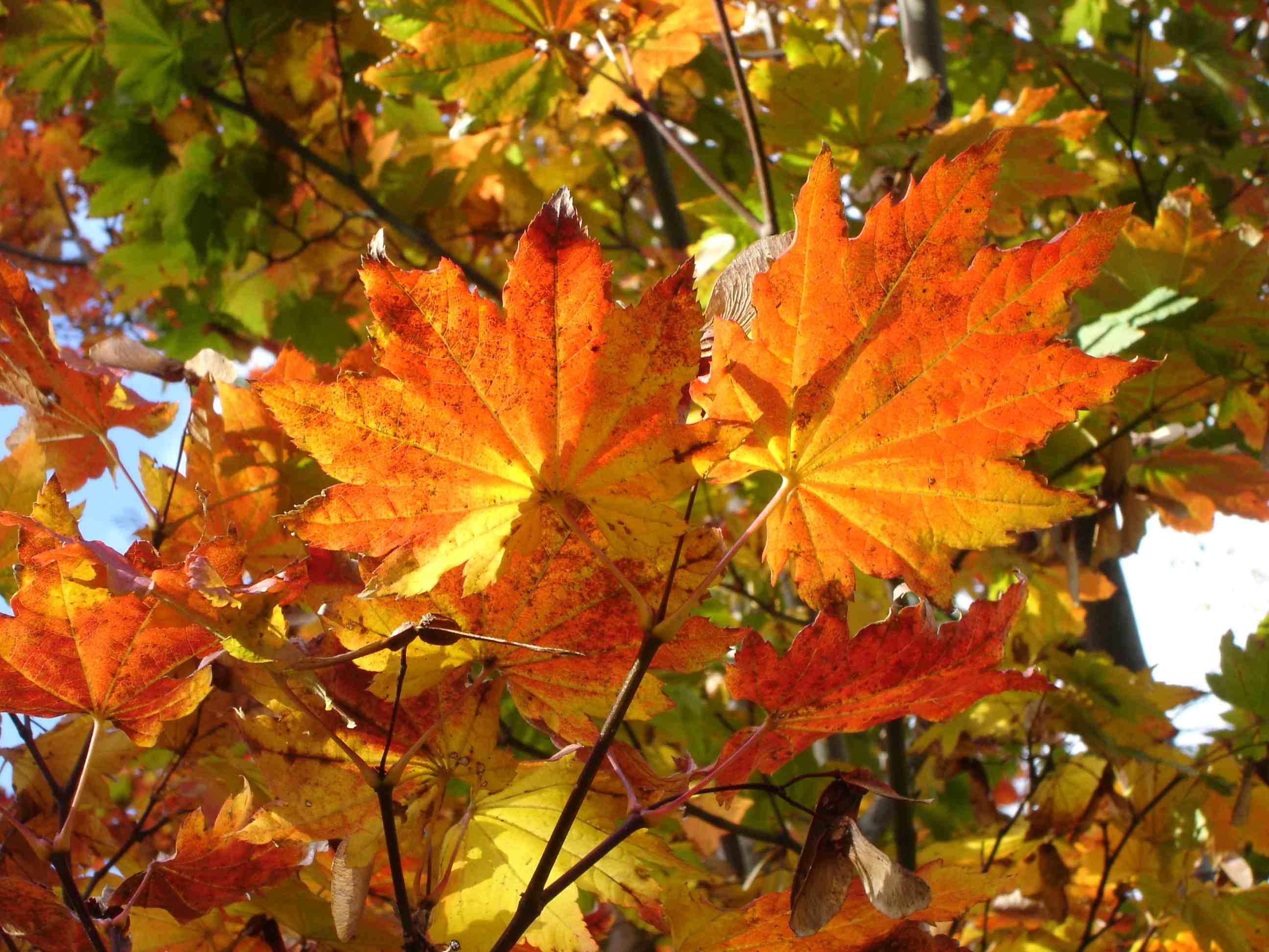 Érable à feuilles rondes (Acer circinatum)