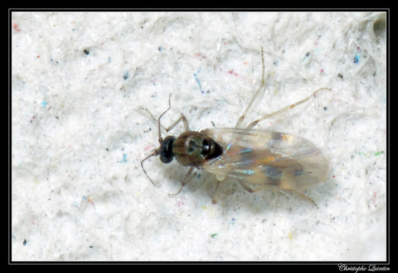 Biting Midge (Ceratopogonidae)