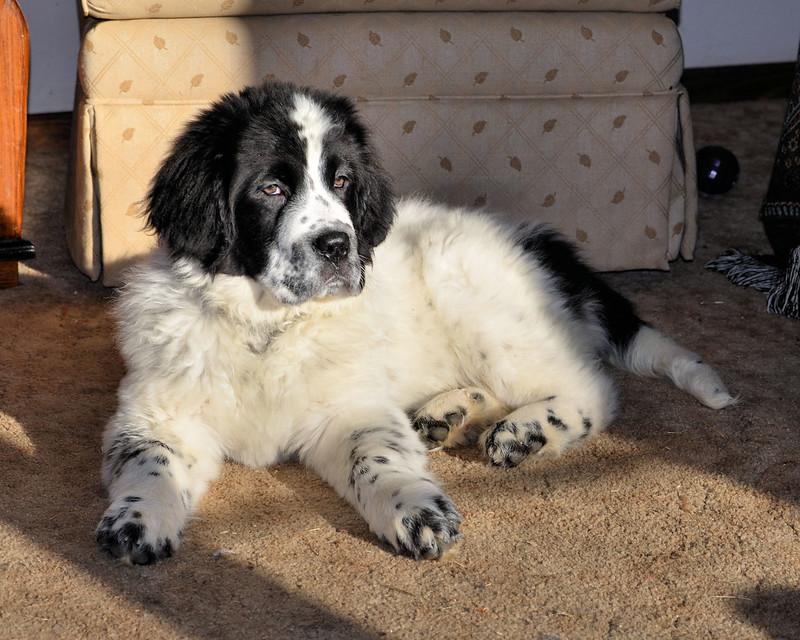 Landseer Newfoundland Dog Puppy