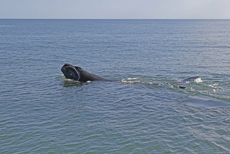 Baleine noire de l'Atlantique Nord (Eubalaena glacialis)