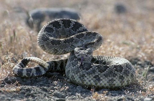 Western Rattlesnake (Crotalus oreganus)