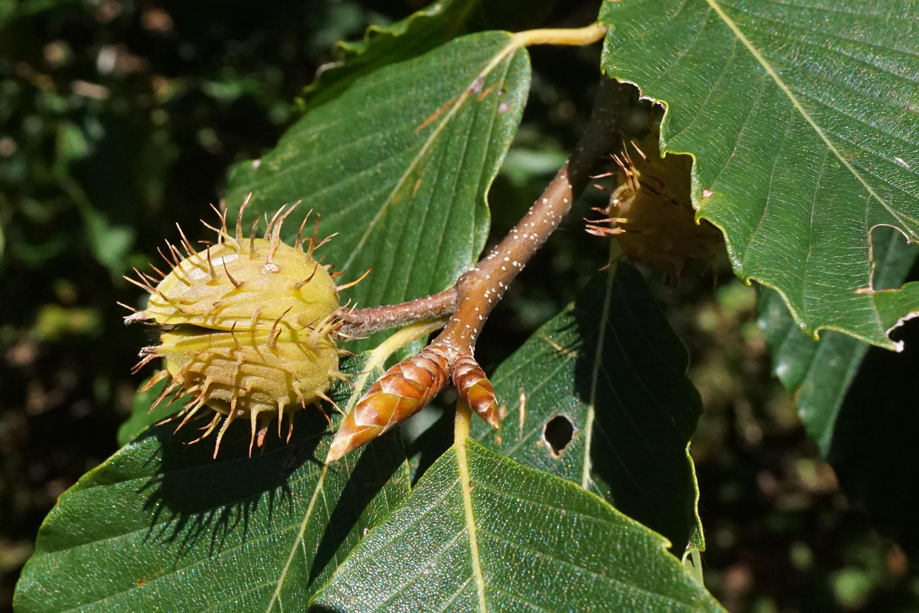 American Beechnut (Fagus grandifolia)