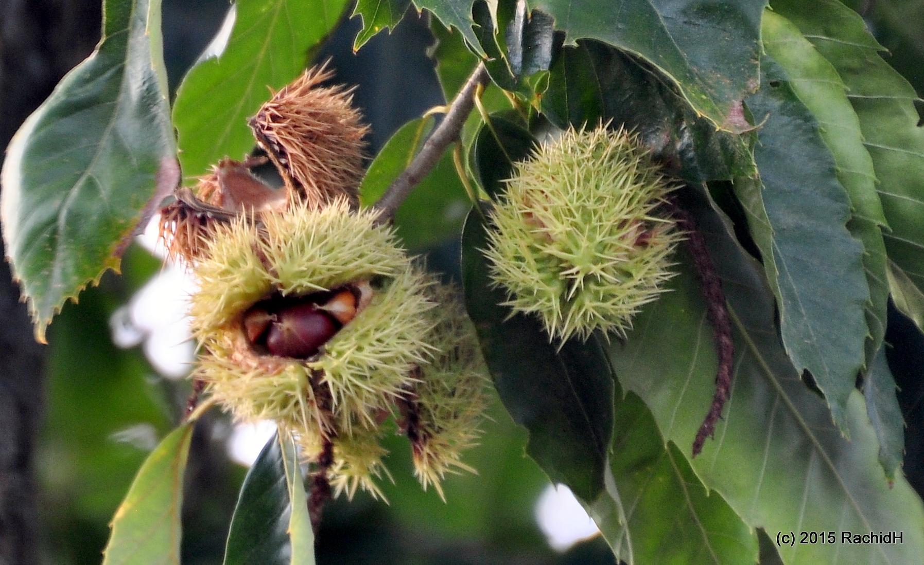 American Chestnut (Castanea dentata)