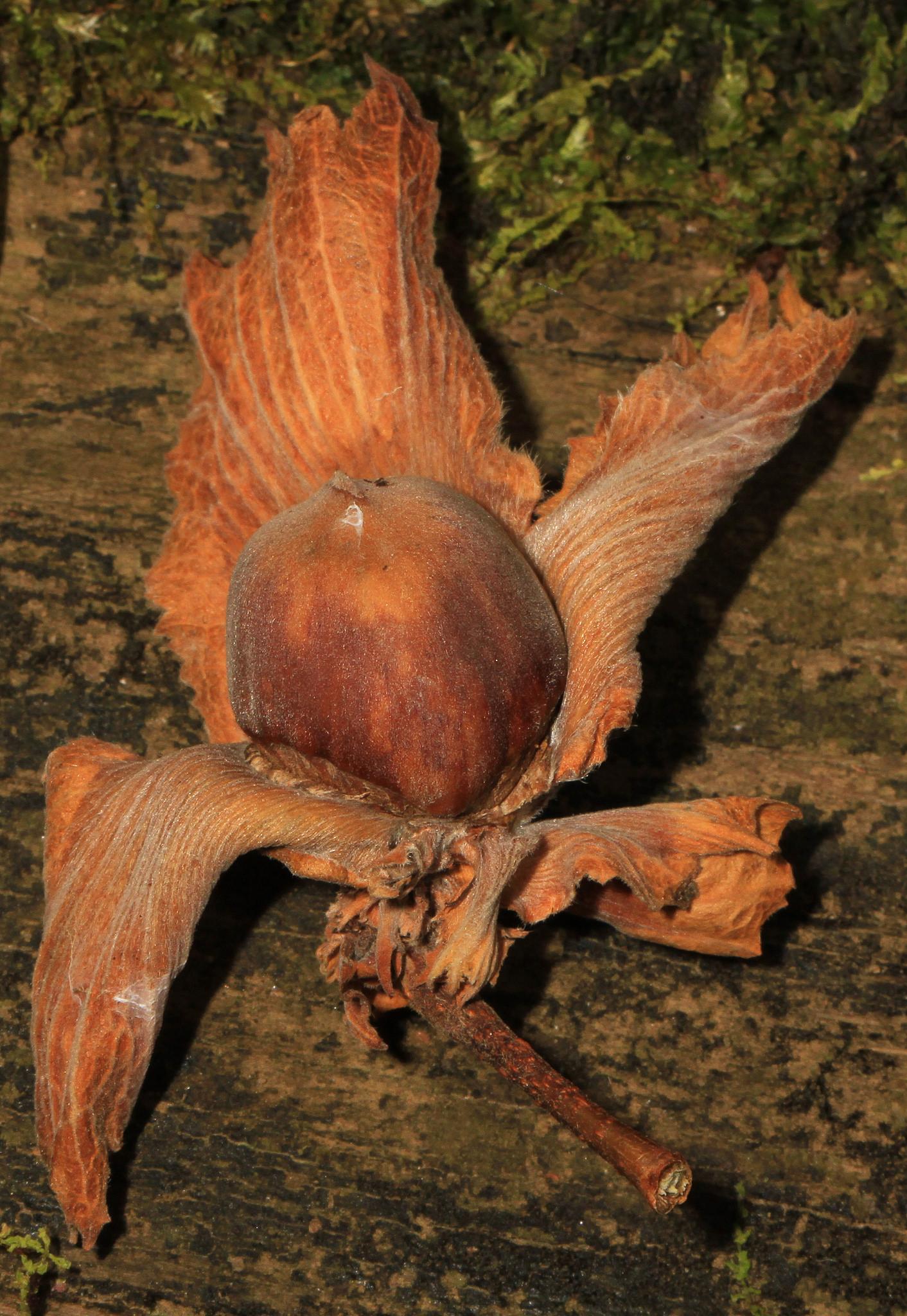 Harvested American Hazelnut